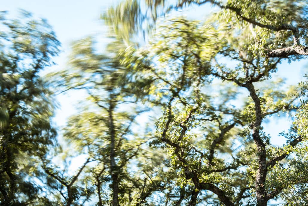 Live Oak treetops whip violently in the wind . Photograph by Jeff Kauffman (#141129A0013).