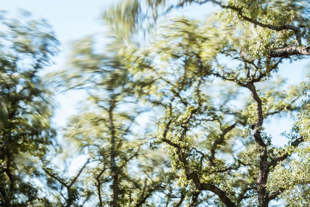 Live Oak treetops whip in the wind. Photograph by Jeff Kauffman (141129A0014).