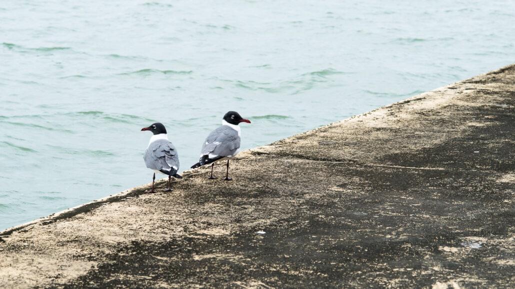 Jeff Kauffman Photography. Gulls #0112, a seagull romance. A pair of Laughing Gulls on the Texas coast near Corpus Christi.